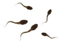 Talking tadpoles of Hanoi